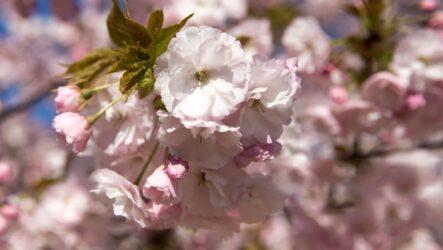 О-Ханамі — традиція зустрічі весни в Японії
